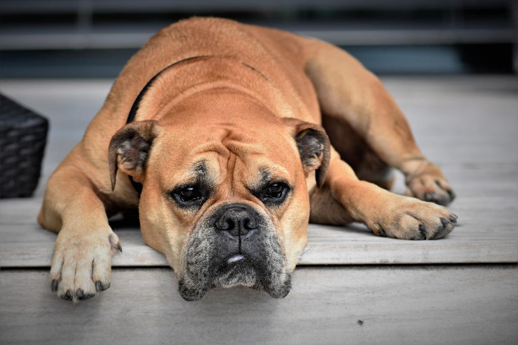 Perro buldog de color canela claro. Aparece con cara de apatía y cansancio. Está tirado en el suelo, al borde de un escalón. Su mirada está fija en el infinito. Parece muy tranquilo, aunque yo no me fiaría.