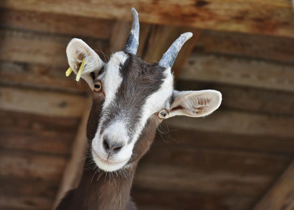 Una cabra común, de las más comunes de las cabras del monte. Color canela oscuro con dos franjas blancas en la cara, separadas por otra, también del mismo color que el cuerpo, en el centro. Tiene dos pequeños cuernecillos que parece sugerir que es joven.