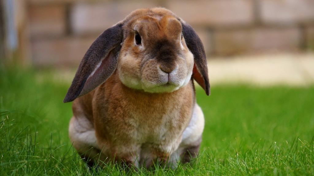 Conejo común campestre, aunque muy aseado y  de aspecto mimoso. Es color marrón claro y está bien cebado. Tienes orejas largas y más oscuras, casi grises, que le caen lacias en los lados de la cara. Mirada pensativa y postura lista para salir corriendo.