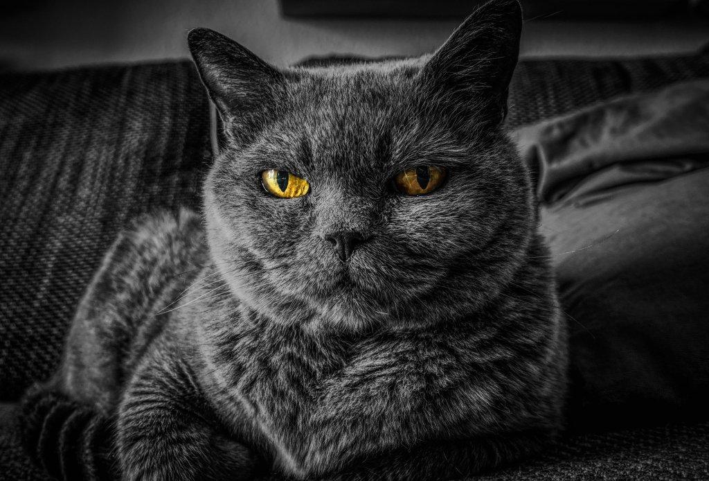 Una gata negra (el género me lo he inventado) con unos ojos amarillo relucientes. Su carita es muy seria y no sería yo el que me acercara a acariciarla. Su raza (buscado en Intente) tipo cartujo o Chartreux.