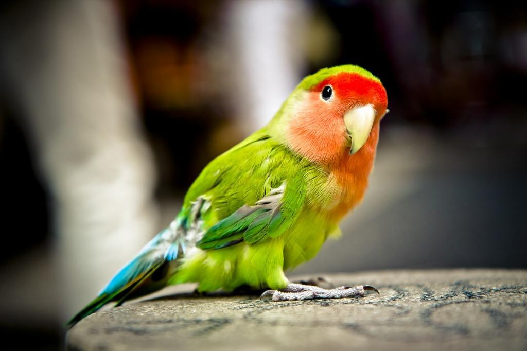 Cotorrita o loro pequeño. Cabeza de color naranja-rojo, cuerpo verde y plumas verde más oscuro y azul. Mira descarado hacia la cámara esperando que le digamos algo o le demos pipas.