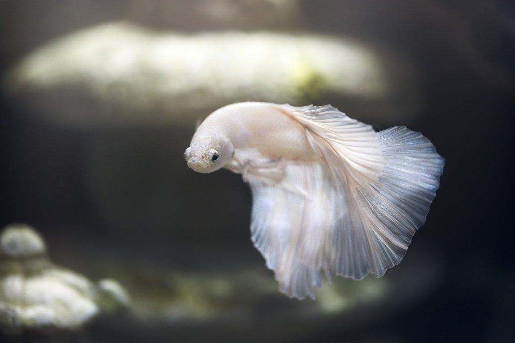 Un pez luchador japonés blanco.  También conocido como peces Betta. Es totalmente blanco y reluciente y nada apaciblemente en una pecera cuyo fondo no se ve porque está difuminado.