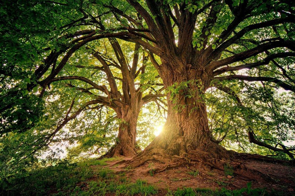 Imagen de un rincón de un bosque en dónde se ven dos árboles. Uno delante, grande e imponente, con las ramas, también grandes como en un inmenso abanico. El otro árbol tiene las mismas características, pero aparece más pequeño en la perspectiva. Ambos crean una especie de burbuja de aire que engloba la escena y sus troncos, de forma que el verde de las hojas se transforma en marco de la escena y la fotografía.